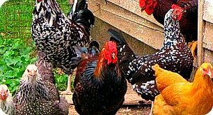 Uganda Local Chicken Breeds