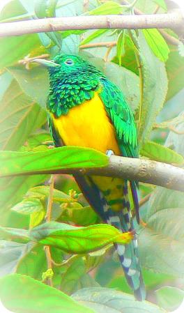 Uganda Bird Guides: African Emerald Cuckoo