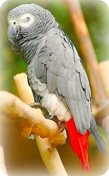 Uganda Birding Safari Guide: African Grey Parrot
