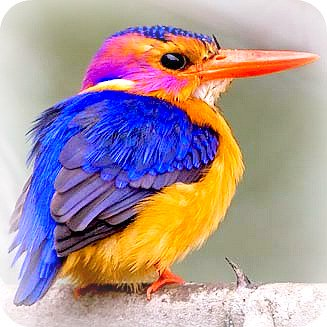 Uganda Bird Guides: African Pygmy Kingfisher