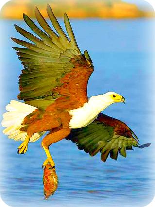 Uganda Birding Safari Guide: African Fish eagle
