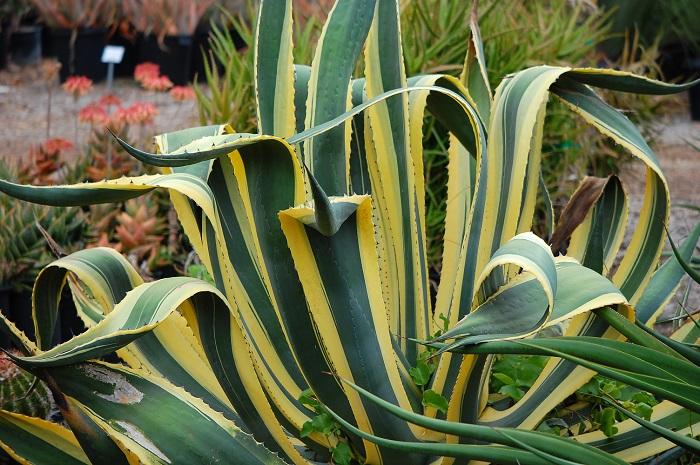 Agave plant in Uganda