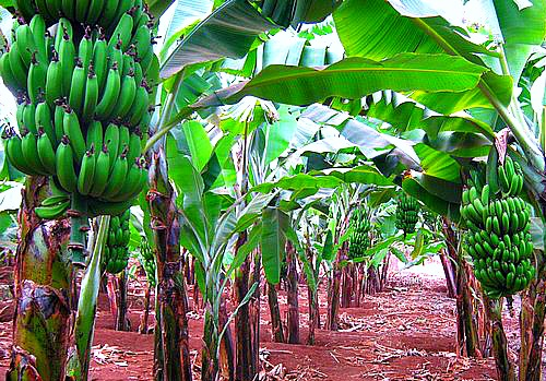 Banana Plantation in Uganda