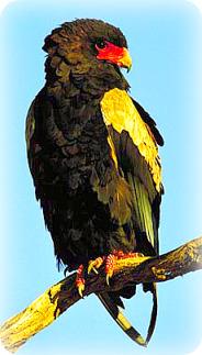 Uganda Birding Safari Guide: Bateleur Eagle