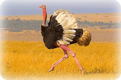 Uganda Birding Safari Guide: Common Ostrich