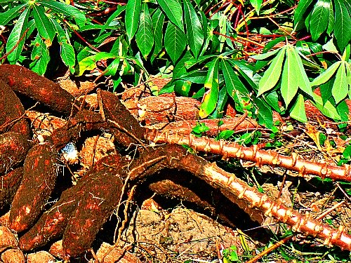 Cassava Plant with Tubers in Uganda