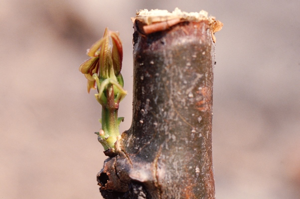 Cassava Stem sprouting