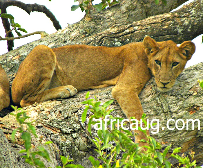 A Climbing Lion on Fig Tree at Ishasha Sector , Queen Elizabeth National Park.