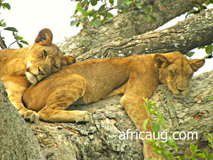 Climbing Lions at Queen Elizabeth National Park- Ishasha, Uganda Africa