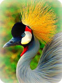 Uganda Bird Guides: The Uganda Crane