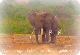 Elephant at Uganda Accommodation: Apoka Lodge Kidepo NP