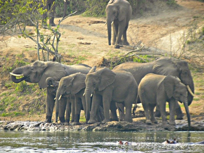 Half way our boat Ride on the Kanzinga Channel, at about 9:30am ; This herd of Elephants suddenly flocked the Banks of the Kazinga Channel. <br>The Scene was truly amazing.
