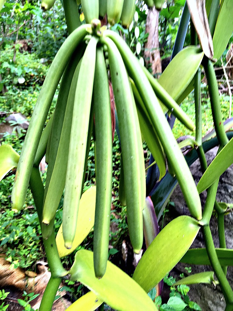 Green Vanilla Beans Ready to Harvest in Uganda, Africa. We identify them by the pale skin and the yellowing on the tips.