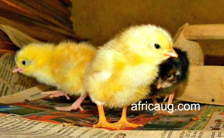 https://www.africa-uganda-business-travel-guide.com/images/xKuroilerChicksnearfoodtrough.jpg.pagespeed.ic.gtV5b2joZP.jpg