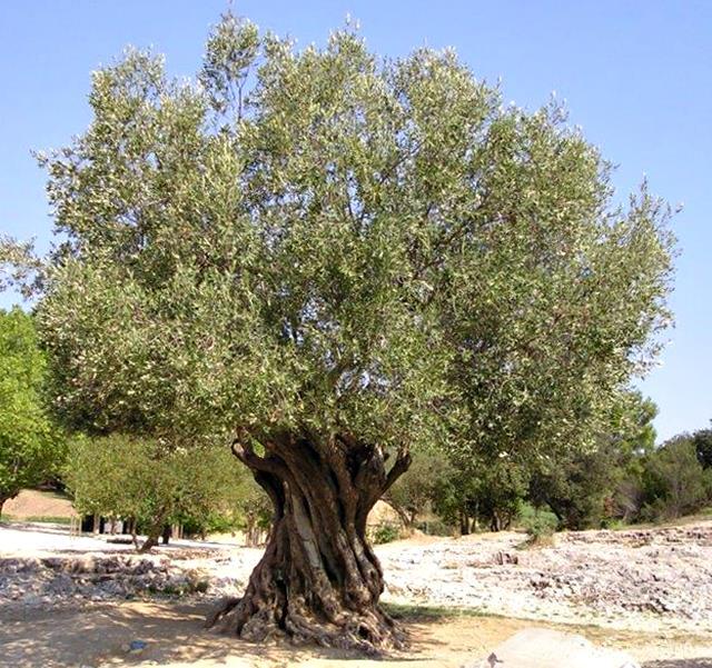 Mature Olive Tree in Uganda