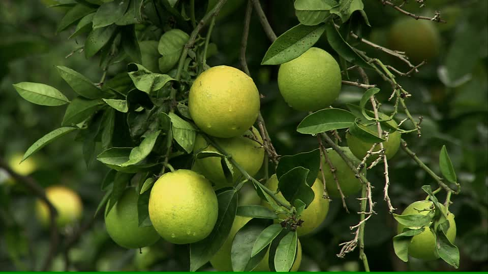Orange tree with fruits in Uganda