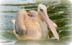 Uganda Bird Guides: The Pink Backed Pelican