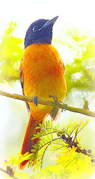 Uganda Birding Safari Guide: RED BELLIED PARADISE FLYCATCHER