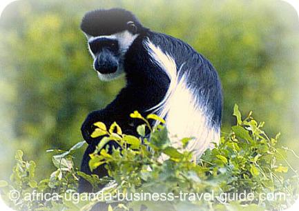 Ruwenzori Colobus Monkey