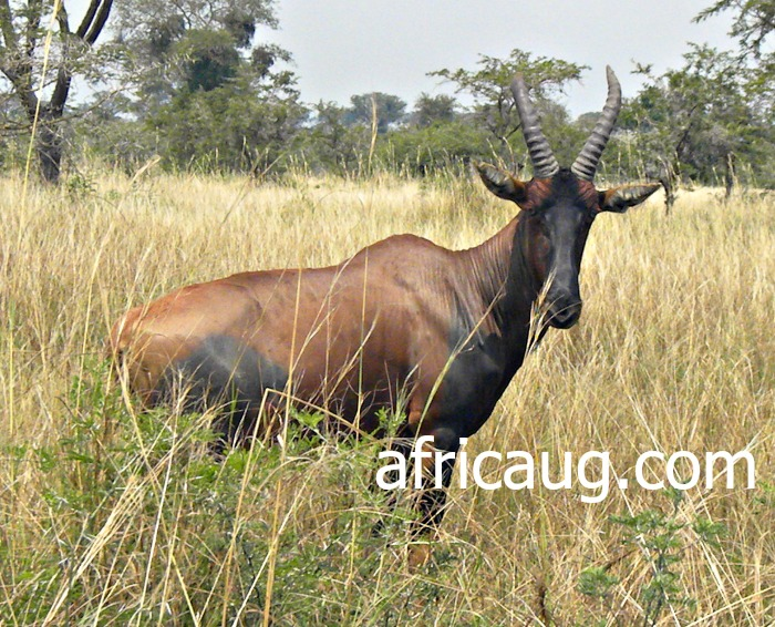Elegant...! The Topi Antelope at Queen Elizabeth National Park.   We came to learn from our Tour guide that this is the Fastest Antelope in the Park.