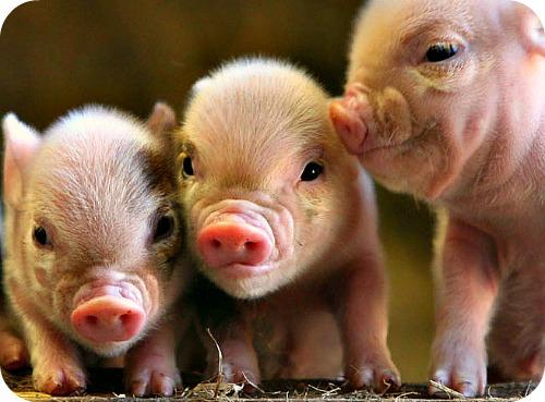 Pig Farming Business Guide