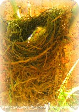 Uganda Bird Guides: Weaver Chick in Nest
