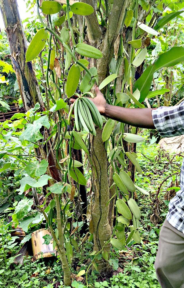 A vigorous Vanilla Vine with Green Vanilla Beans supported by Jatropha Trees on a Uganda Vanilla Plantation in Africa.