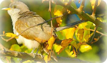 Uganda Birding Safari Guide: The Yellow Billied Cuckoo