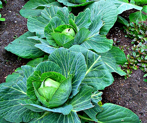 Cabbage Garden in Africa