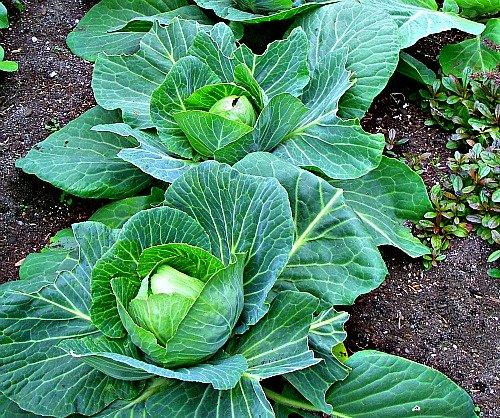 Cabbage Garden in Africa