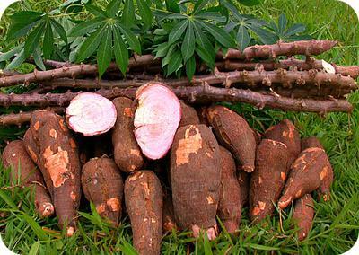 Raw Cassava Tubers in Uganda
