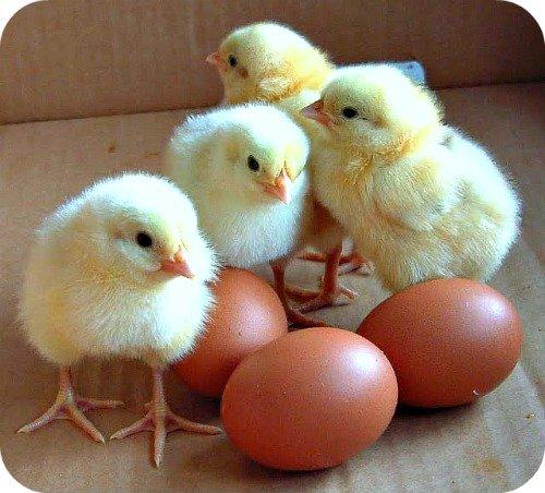 Chicks & Eggs: Uganda Poultry Farming Guide