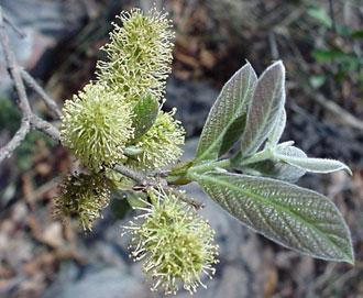 Combretum molle leaves in Uganda, Africa