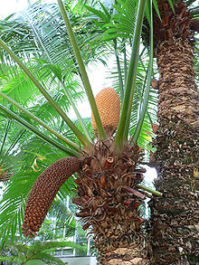 Photo/appearance <br>Cycad in Uganda