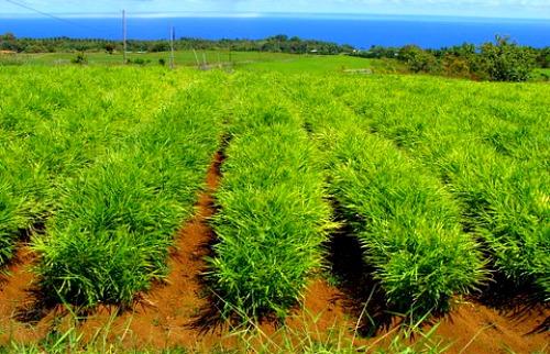 Ginger Plantation in Uganda