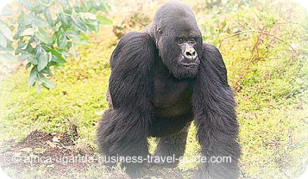 Gorilla Safari at Bwindi National Park