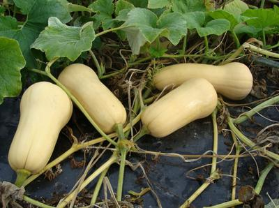 Butternut Squash Plant with Fruits  in Uganda