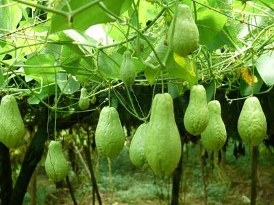 Chayote Plantation in Africa