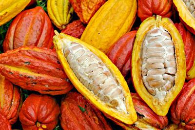 Cocoa Beans in Freshly Cut Pods