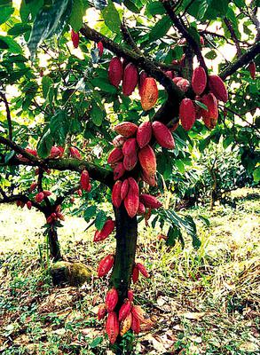 Cocoa Trees with Ripe Red Fruits  in Africa