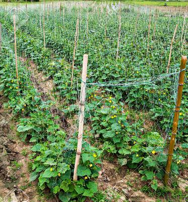 Commercial Cucumber Growing in Africa