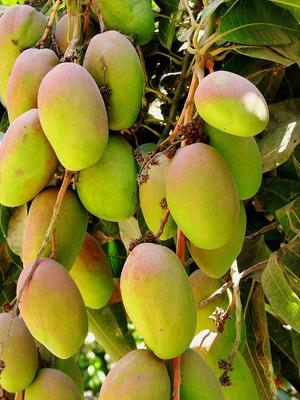 Mangoes in Uganda