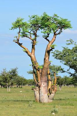 Moringa Tree Drumstick