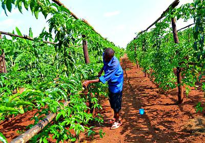 Passion Fruit Plants on Trellis (Posts)