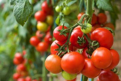 How to grow TOMATOES in Uganda