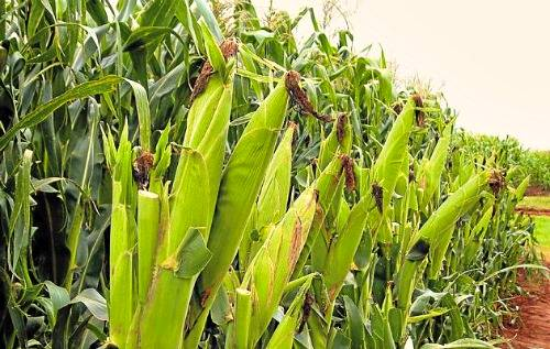 Manual for maize production.