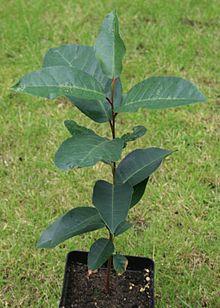 Photo/appearance <br>prunus africana tree in Uganda