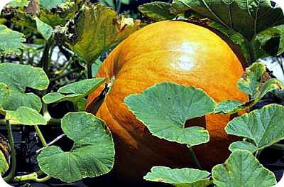 Pumpkin in Uganda Garden with Leaves