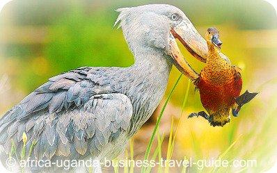 shoebill Bird at Murchison Falls National Park