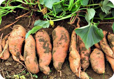 Sweet Potato Tubers Fresh From the Ground in Uganda